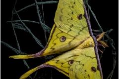 Actias sinensis