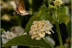 Mariposa esfinge colibrí
