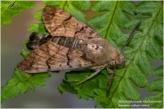 Macroglossum stellatarum (mariposa esfinge colibri)