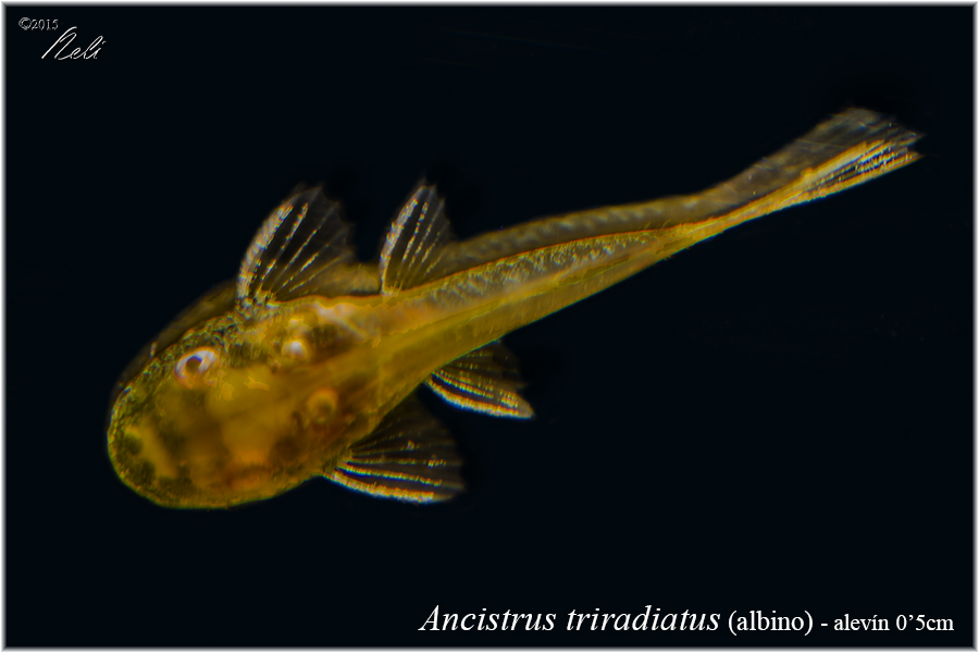 Ancistrus triradiatus albino