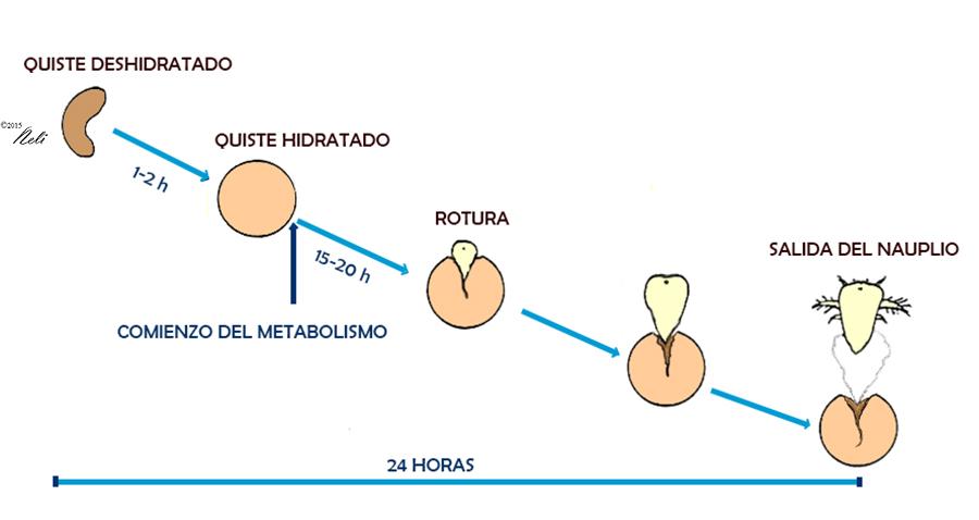 Artemia salina parte ii planeta neli for Artemia para peces