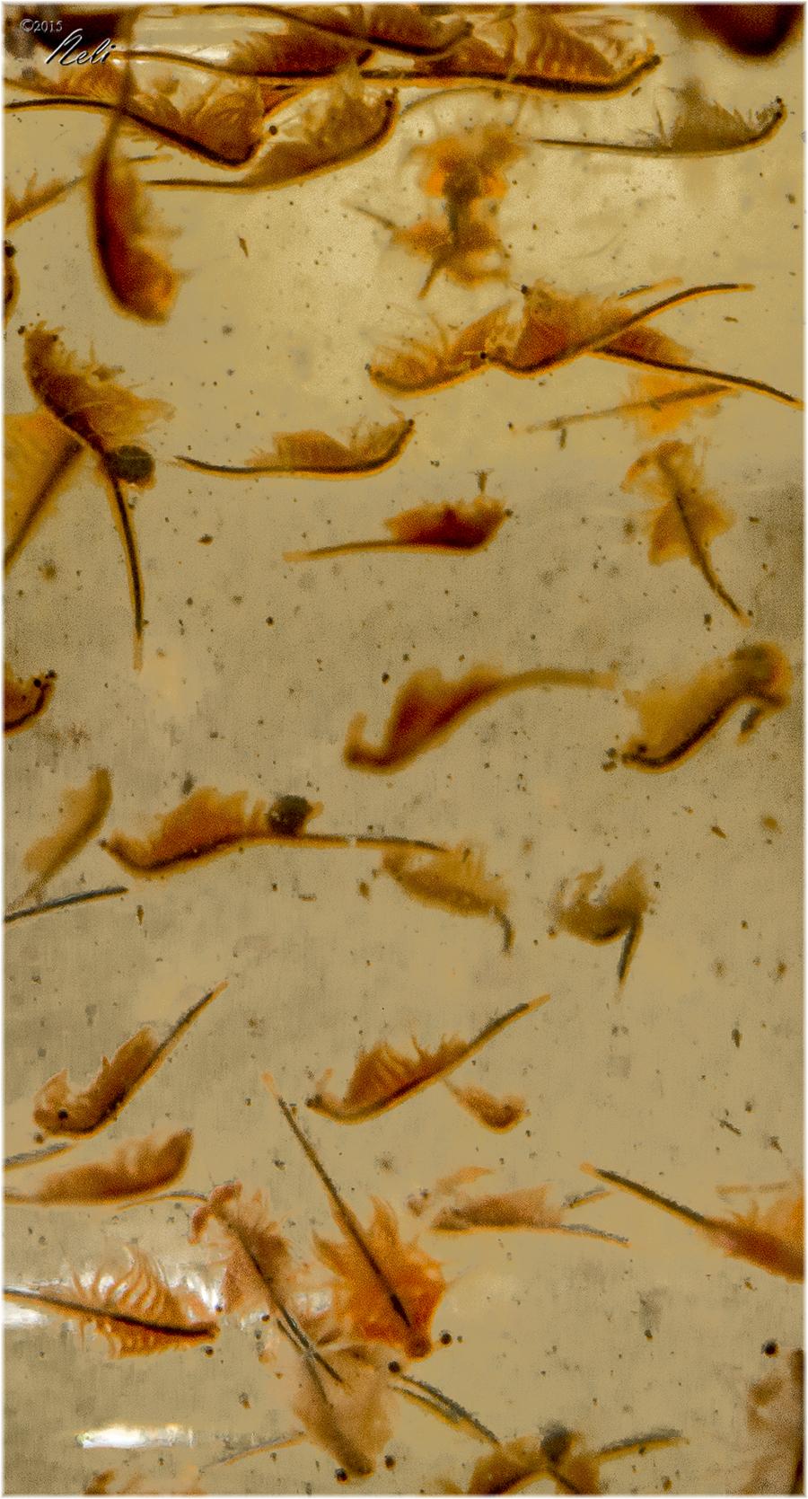 Artemia salina parte iii planeta neli for Artemia para peces