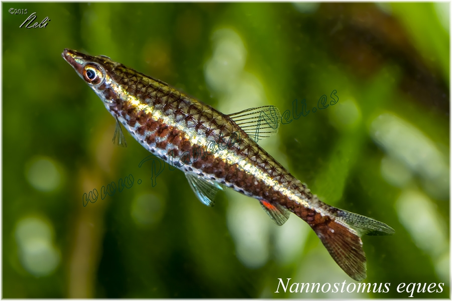 Nannostomus Eques
