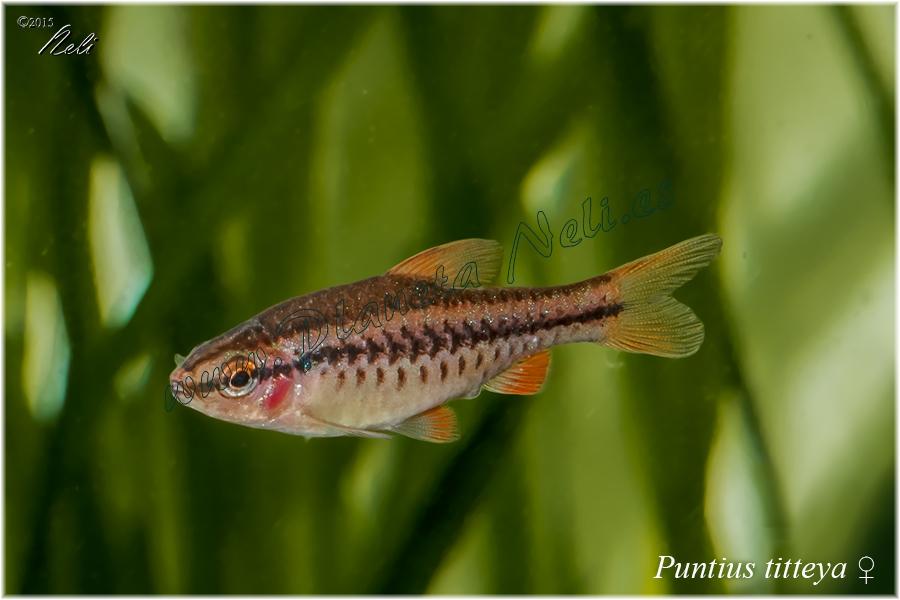 Puntius titteya (barbo cereza)