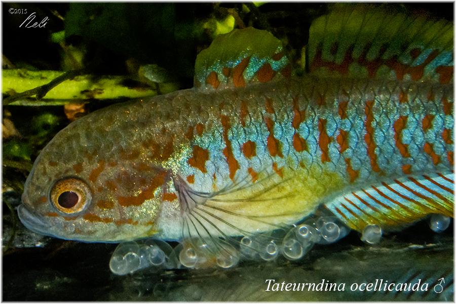 Tateurndina ocellicauda