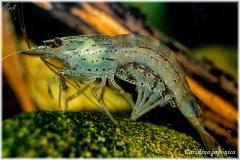 Caridina japónica, acuariofilia