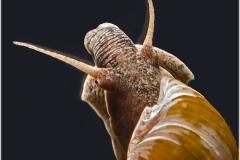 Melanopsis tricarinata