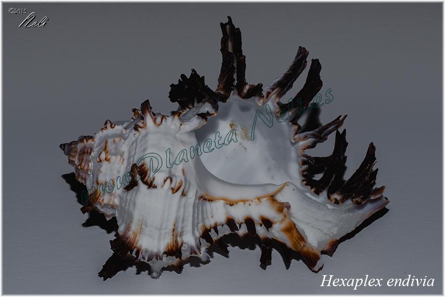 Hexaplex endivia