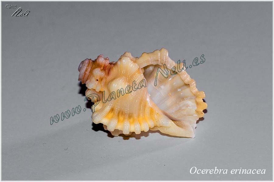 Ocerebra erinacea