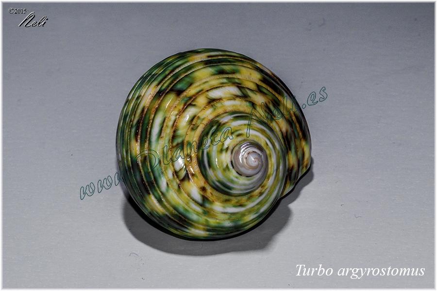 Turbo argyrostomus