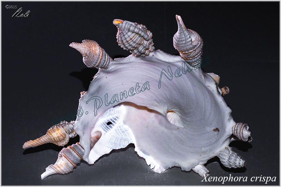 Xenophora crispa