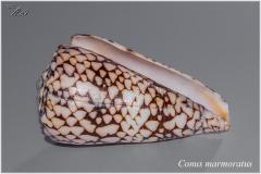 Conus marmoratus