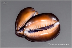 Cypraea mauritania