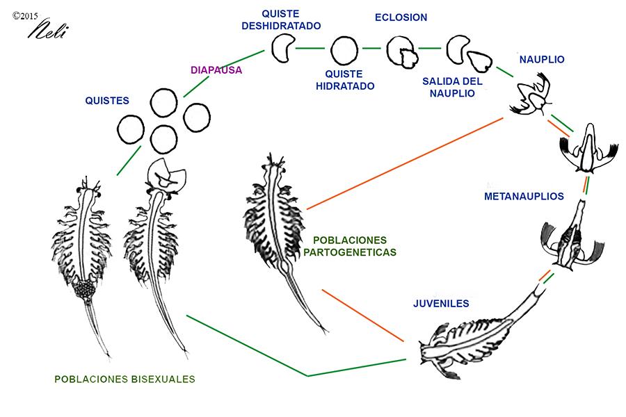 Artemia-13b