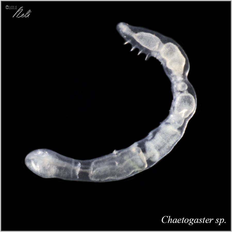 Chaetogaster sp.