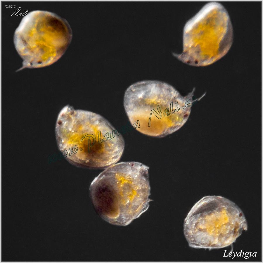 Leydigia alimento para alevines planeta neli for Artemia para peces