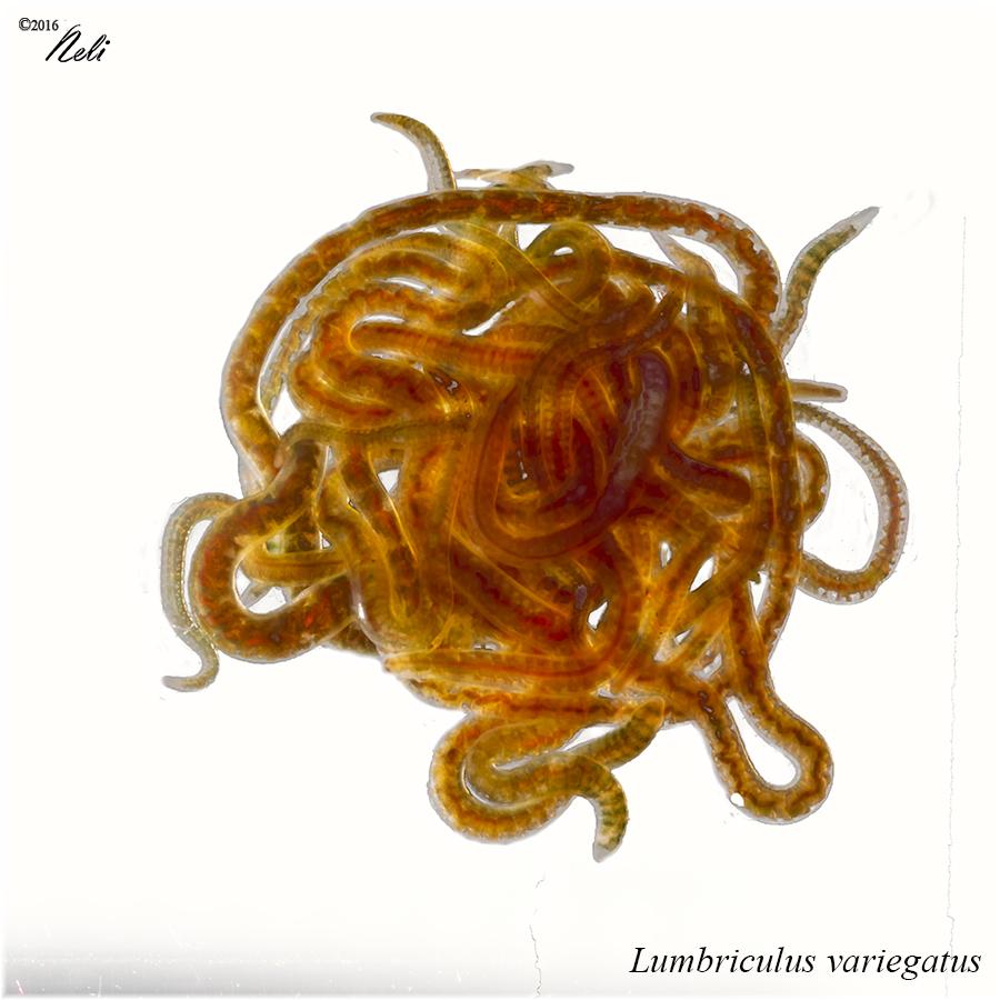 Lumbriculus variegatus (Blackworm)