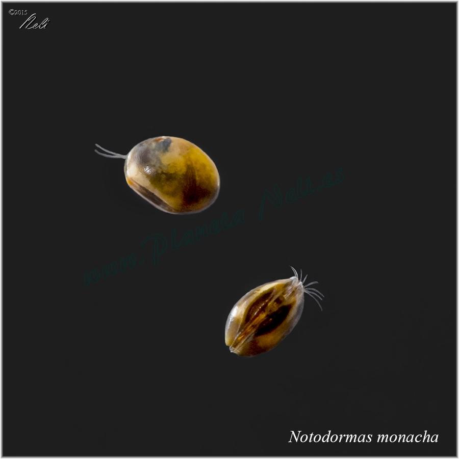 Notodromas monacha