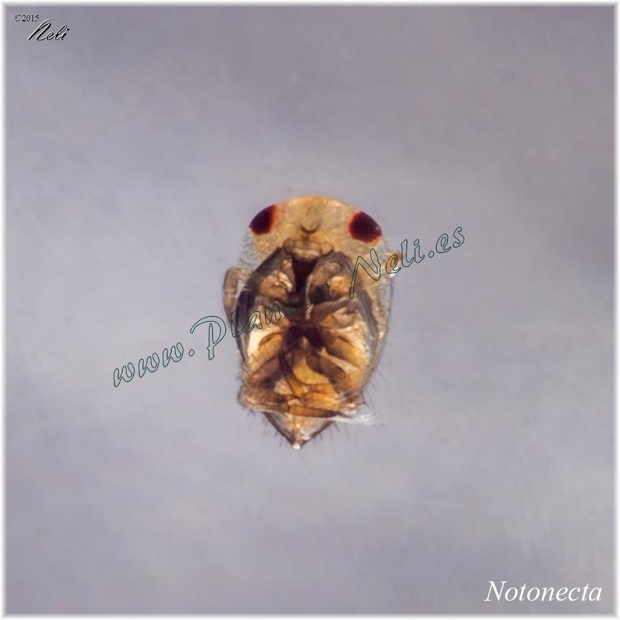 Notonecta