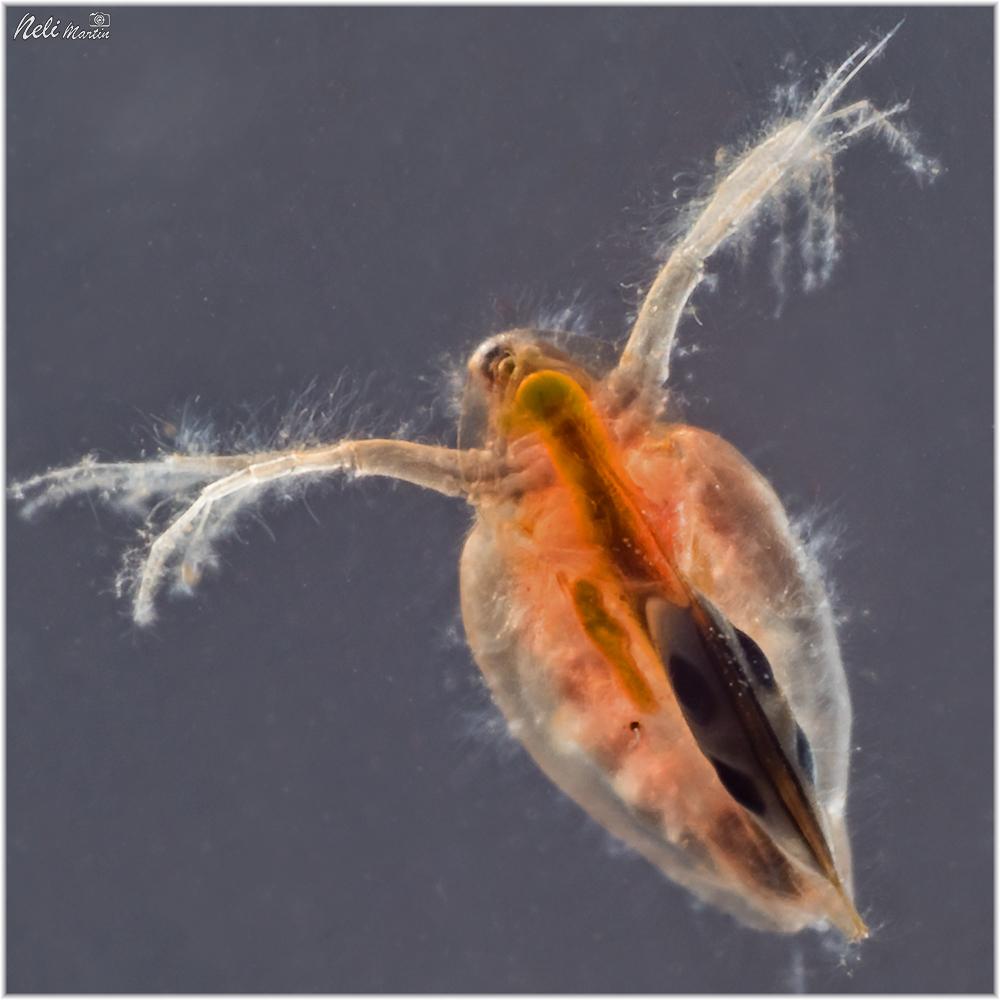 daphnia-sp-hongos