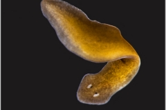 Turbellaria - Planaria