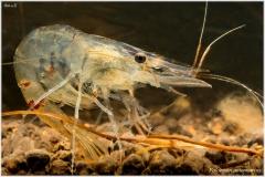 gamba-Palaemon-antennarius-03