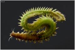 gusano-marino-alitta-sp-01