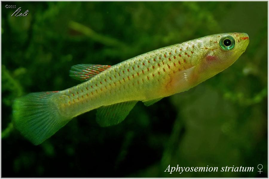 Aphyosemion striatum