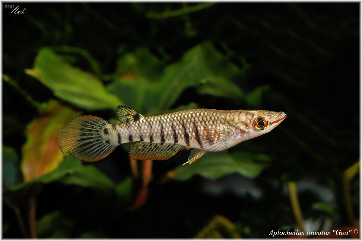Apl. lineatus