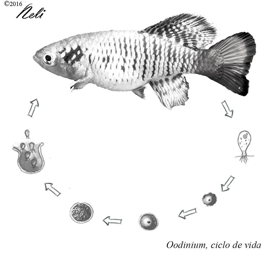 Oodinium-01