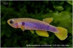 Aphyosemion ocellatum