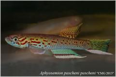 Aphyosemion pascheni pascheni