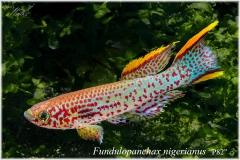 Fd nigerianus