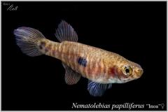 Nem papilliferus