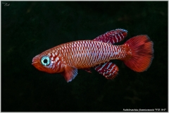 Nothobranchius flammicomantis
