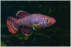 Nothobranchius-ruudwildekampi