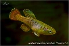 Nothobranchius guentheri Zanzibar