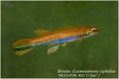 Riv xiphidius