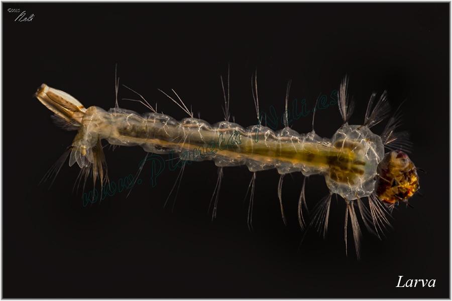 Larva mosquito