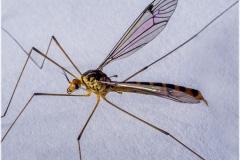 Nephrotoma flavipalpis