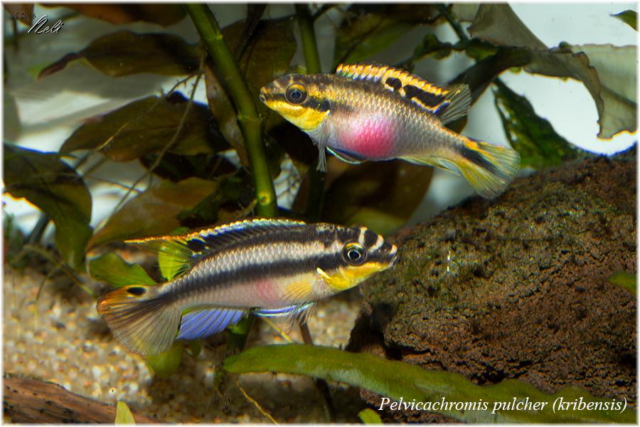 Pelvicachromis pulcher (kribensis)