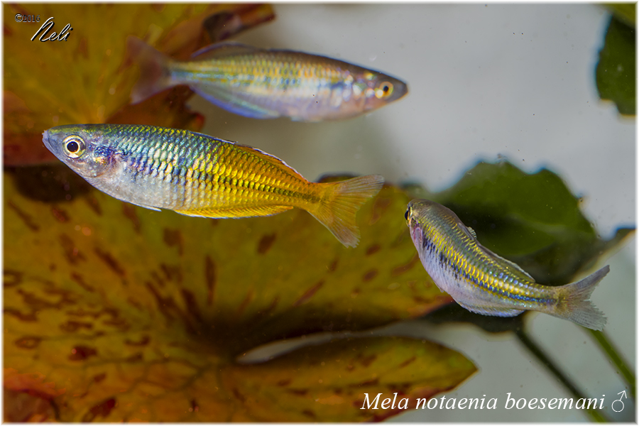 Melanotaenia boesemani