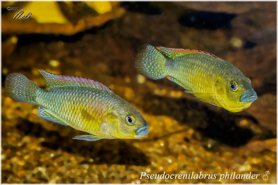 Pseudocrenilabrus philander