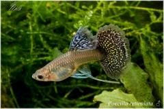 Poecilia reticulata