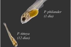 Puntius Titteya, Pseudocrenilabrus philander