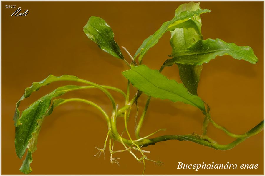 Bucephalandra enae