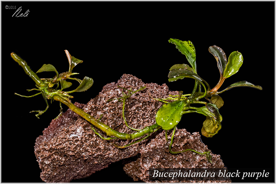 Bucephalandra black purple