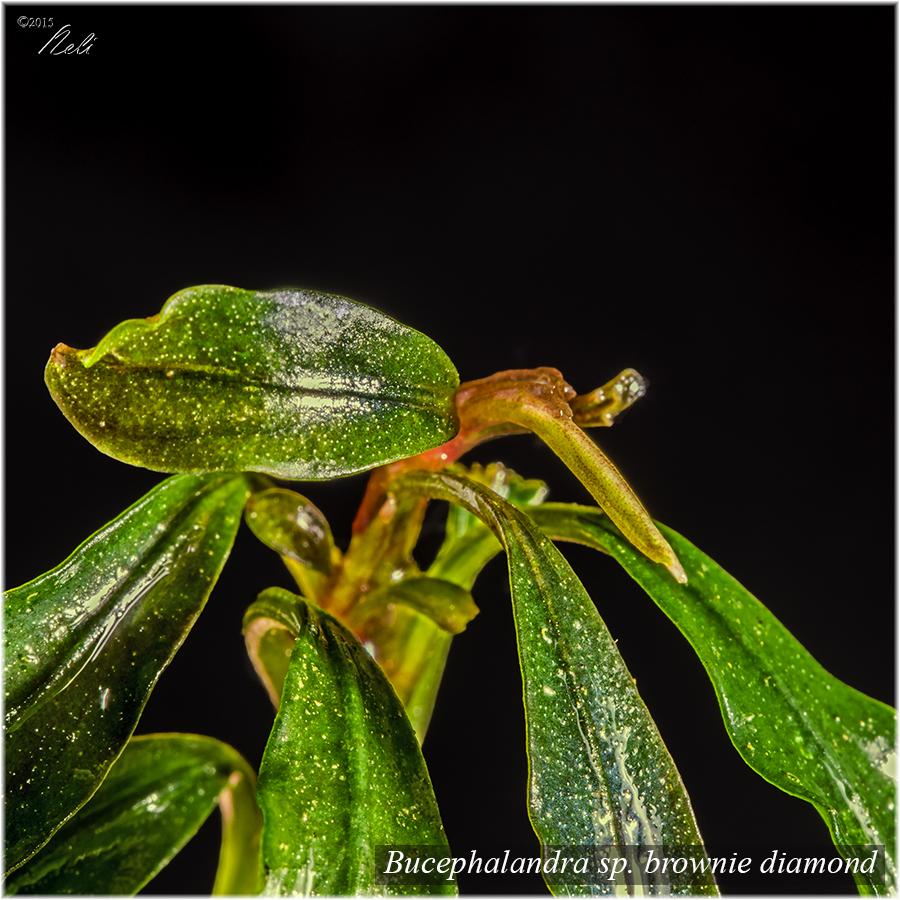 Bucephalandra sp. brownie diamond