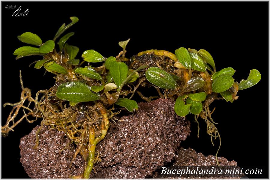 Bucephalandra mini coin