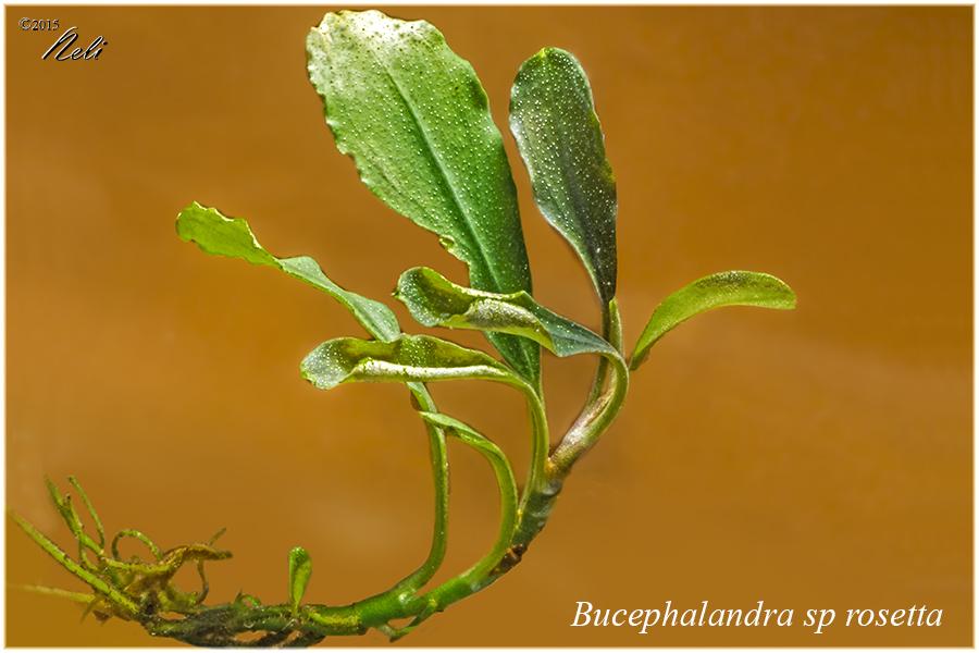 Bucephalandra sp rosetta